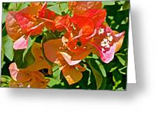 Multi-colored Bougainvillea At Pilgrim Place In Claremont-california  Greeting Card