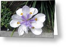 Multi-petal White Iris Flower. Very Unusual, Rare Form Greeting Card