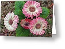 Multicolored Gerberas Greeting Card