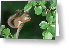 Munching Mulberries Greeting Card