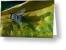 Musca On Display Greeting Card