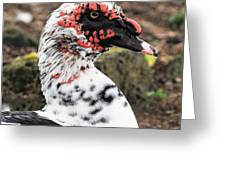 Muscovy Duck Greeting Card
