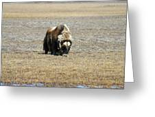 Musk Ox Grazing Greeting Card