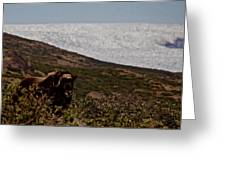 Musk Ox In Front Of Greenlandic Icecap Greeting Card