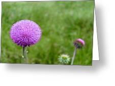 Musk Thistle Bloom Cycle Greeting Card