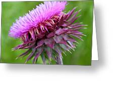 Musk Thistle Blooming Greeting Card