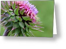 Musk Thistle In Bloom Greeting Card