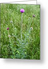 Musk Thistle In Full Glory Greeting Card