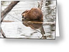 Muskrat Spring Meal Greeting Card