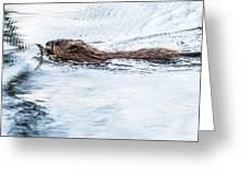 Muskrat Spring Swim Greeting Card