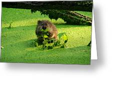 Muskrat Susie Or Muskrat Sam Greeting Card