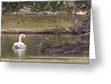 Mute Swan         St. Joe River          June         Indiana Greeting Card