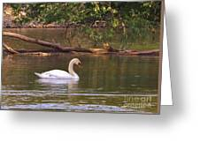 Mute Swan     Image 2      Spring        St. Joe River          Indiana Greeting Card
