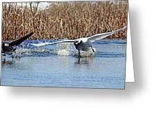 Mute Swan Chasing Canada Goose I Greeting Card