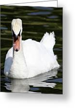 Mute Swan Feathers Of Lake Junaluska North Carolina  Greeting Card