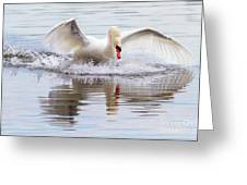 Mute Swan Plunge Greeting Card