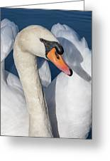 Mute Swan Portrait Greeting Card