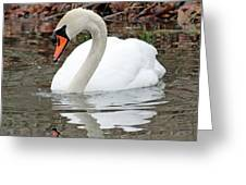 Mute Swan Reflecting Greeting Card