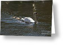 Mute Swan With Three Cygnets Following Greeting Card