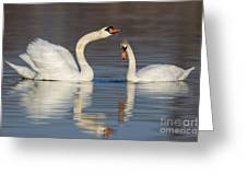 Mute Swans Drinking Greeting Card