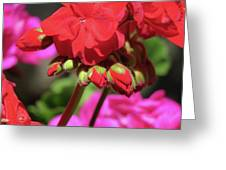 My Beautiful Geraniums And Buds - Images From The Garden Greeting Card