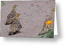 Namaqua Sandgrouse Greeting Card