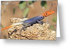 Namib Rock Agama, Male Greeting Card