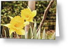 Narcissus Of A Plant Greeting Card