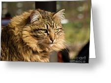 Nari A Maine Coon Cat Greeting Card