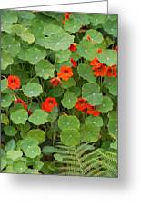 Nasturtiums Greeting Card
