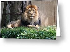 National Zoo - Luke - African Lion Greeting Card