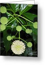Nature In The Wild - Natural Pom Poms Greeting Card