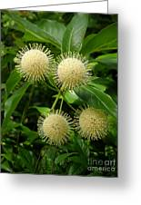 Nature In The Wild - Pin Cushions Of Nature Greeting Card