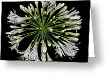 Natures Fireworks - Lily Of The Nile 005 Greeting Card