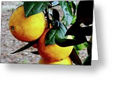 Naval Oranges On The Tree Greeting Card