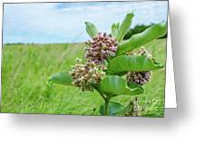 Nebraska Milkweed Greeting Card