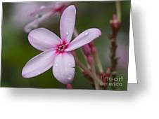Nerium Oleander, Sri Lanka Greeting Card