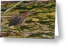 Nervous Green Heron Greeting Card