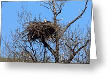 Nesting Bald Eagle Greeting Card