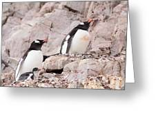 Nesting Gentoo Penguins Greeting Card
