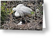 Nesting Great Egret With Chick Greeting Card