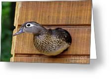 Nesting Hen Wood Duck 1 Greeting Card