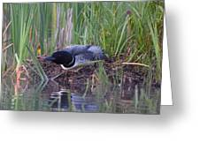 Nesting Loon Greeting Card