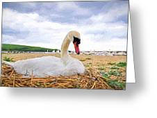 Nesting Mute Swan At Abbotsbury - Impressions Greeting Card