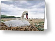 Nesting Mute Swan At Abbotsbury Greeting Card