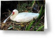 Nesting Spoonbill Greeting Card