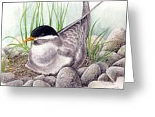 Nesting Tern Greeting Card
