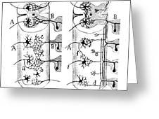 Neuroglia Cells Illustrated By Cajal Greeting Card