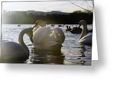 Duddingston Swan 11 Greeting Card