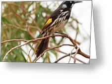 New Holland Honey-eater Greeting Card
